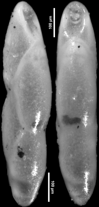 Pleurostomella schuberti var. dominicana Bermudez, 1949. Holotype