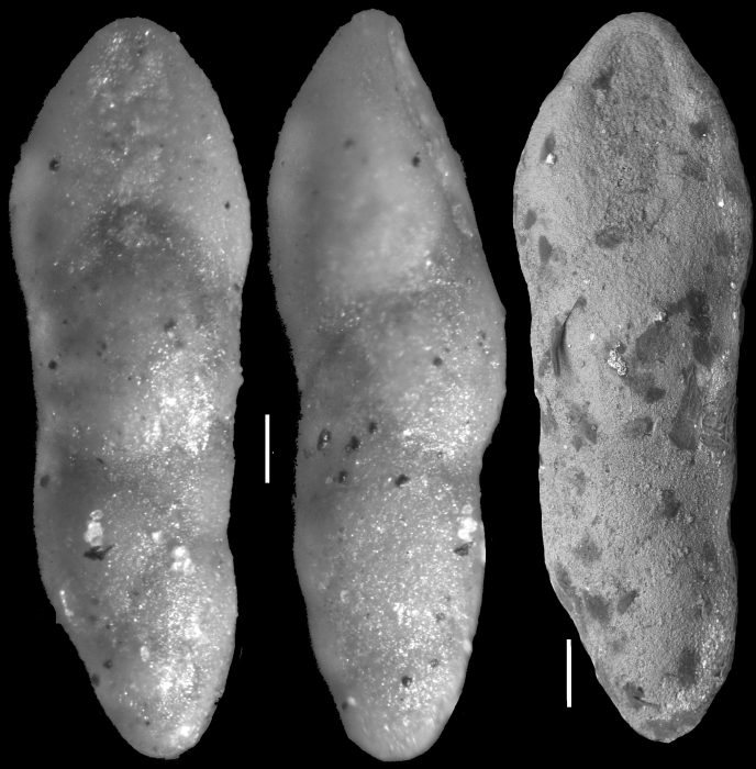 Pleurostomella torta Cushman, 1926 Holotype