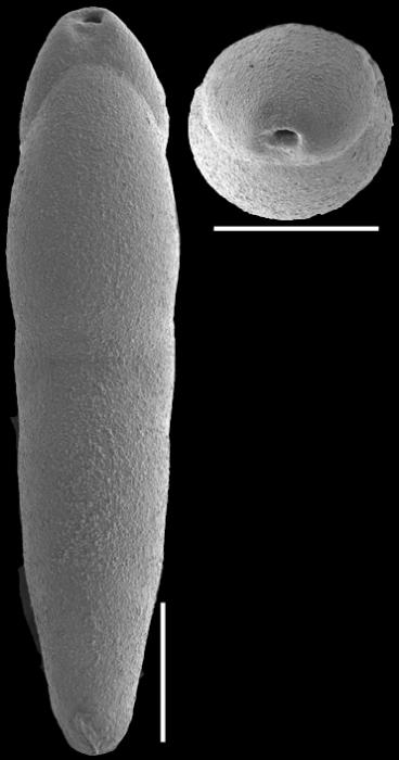 Pleurostomella wadowicensis Gryzbowski, 1896. Identified specimen
