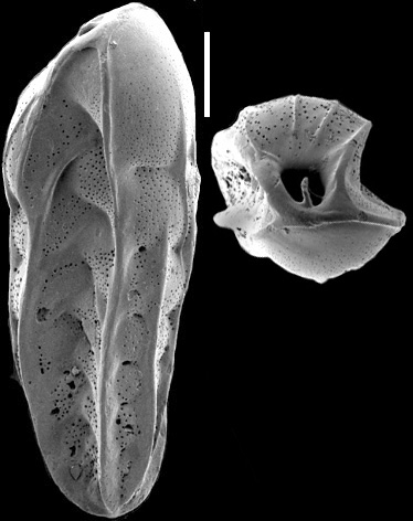 Bolivinita pliozea Finlay, 1939 Identified specimen