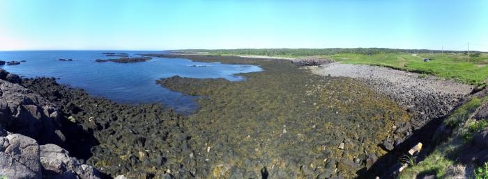 Seaweed, Ascophyllum nodosum (L.) Le Jolis, habitat