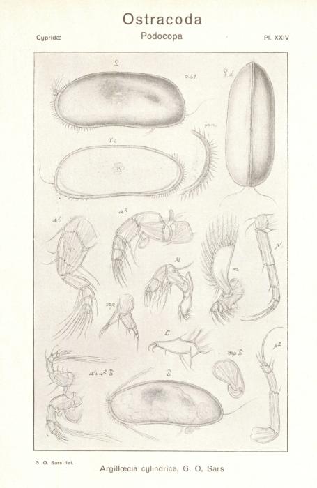 Argilloecia cylindrica from Sars_1923_An account of the Crustacea of Norway_Ostracoda_Parts III u IV