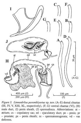 Limnodrilus paramblysetus
