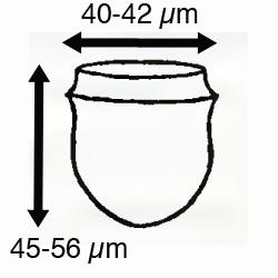 Ascampbelliella urceolata (Ostenfeld 1899)