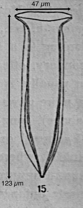 Amphorelllopsis tetragona (Jorgensen 1924)