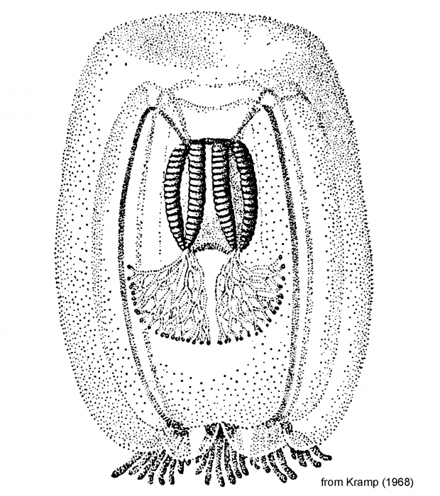 Koellikerina jaschnowi, figure from Kramp (1968)
