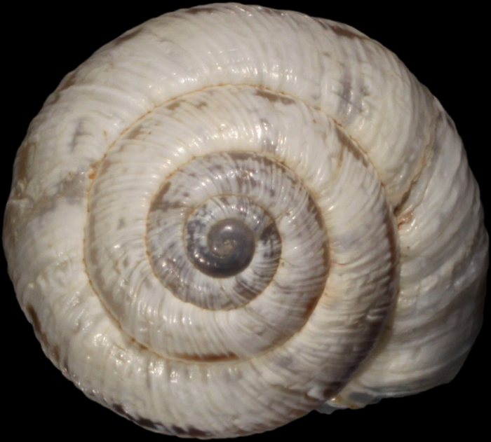 Syntype, apical view, shell diameter 11.8 mm