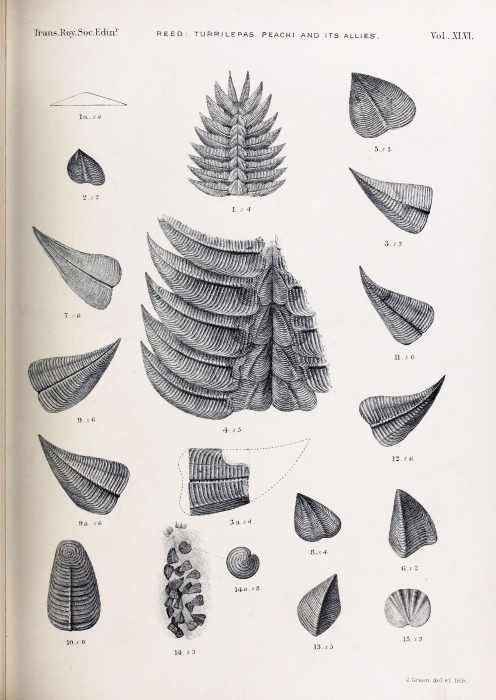Plate (scan by BHL) by Reed 1909 of original specimens of T. peachi & T. scotia
