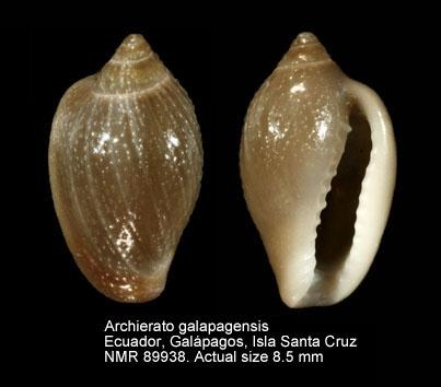Hespererato galapagensis