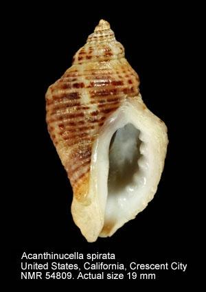 Acanthinucella spirata