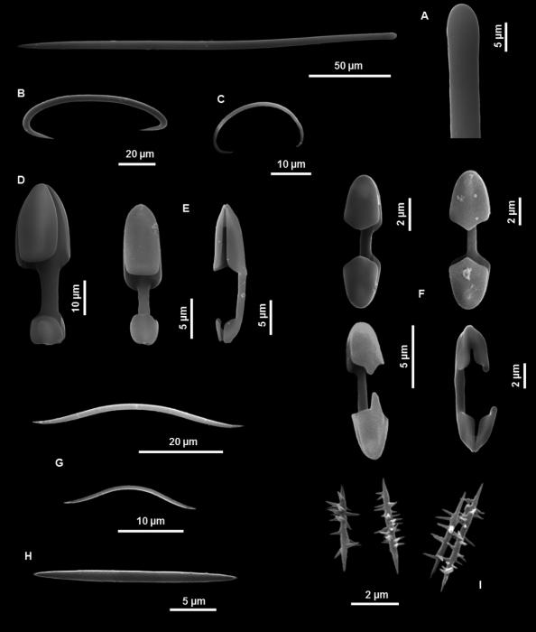 Mycale pectinicola holotype spicules