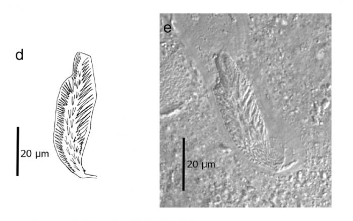 C. canariensis (Fig. 2 from Gobert et al., 2017)