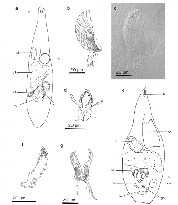 Cheliplana todaroi (Fig. 3 from Gobert et al., 2017)