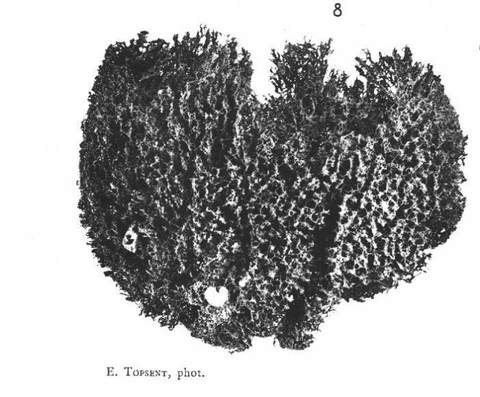 Cacospongia linteiformis (Lamarck, 1814)