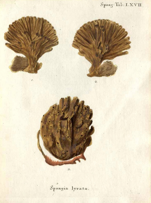 Spongia lyrata Esper, 1794