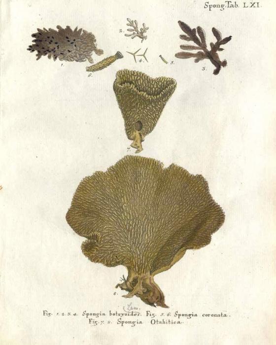 Spongia otahitica Esper, 1797