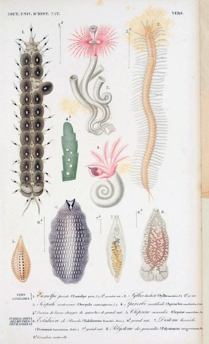 Eumolpe picta original figure in d'Orbigny's Dictionnaire universel d'histoire naturelle