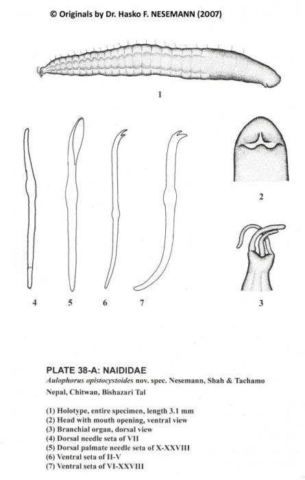 Aulophorus opistocystoides (holotype)