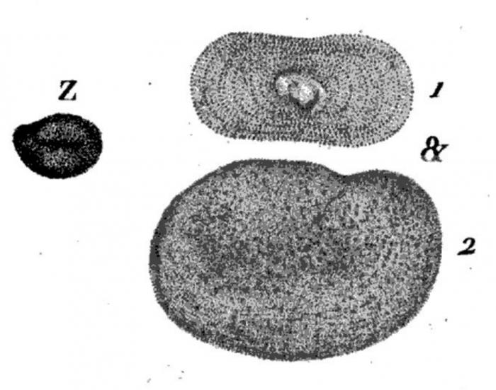 Discolithes n° 9 = Nummulites ovata Roissy, 1805