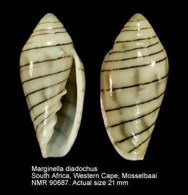 Marginella diadochus