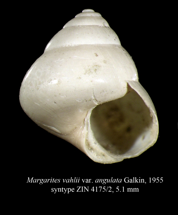 Margarites vahlii var. angulata Galkin, 1955 [syntype]