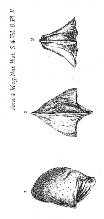 Cytheropteron inornatum Brady, 1872 from original description
