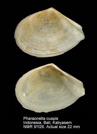 Pharaonella cuspis