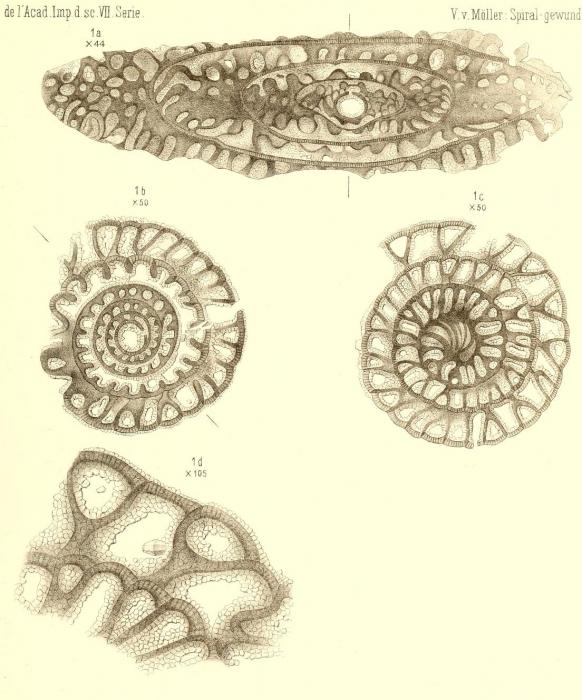 Fusulina cylindrica Fischer De Waldheim, 1830