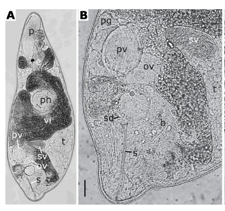 (A) G. elegans