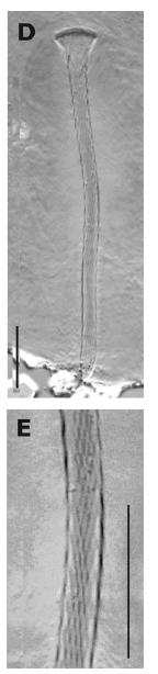 G. elegans