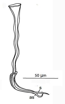 G. mediterraneus