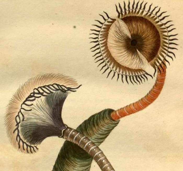 Original plate of Amphitrite infundibulum [now Myxicola infundibulum]