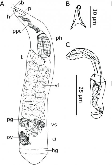 C. pileola