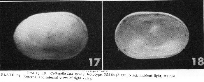 Cytherella lata Brady, 1880 from Puri & Hulings, 1976 - Lectotype