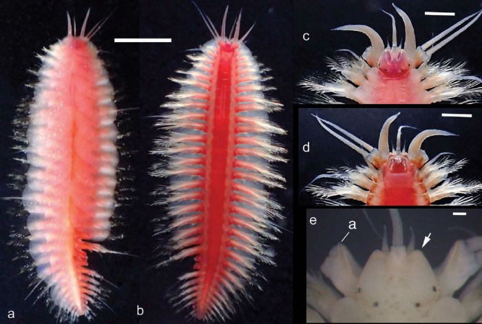 Hesperonoe hwanghaiensis live as figured in Hong et al 2107