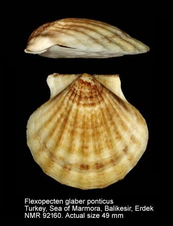 Flexopecten glaber ponticus
