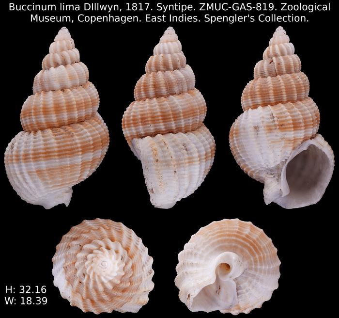 Buccinum lima Dillwyn, 1817 SYNTIPE