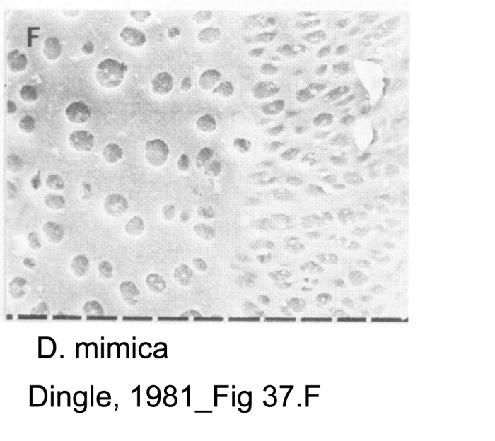 Dutoitella mimica Dingle, 1981 from original description_Fig 37.F