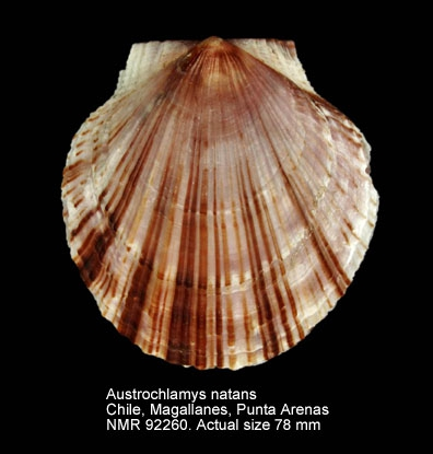 Austrochlamys natans