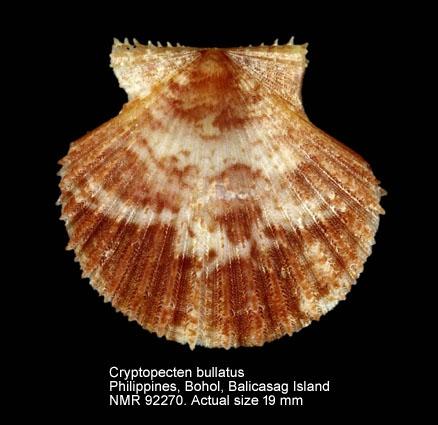 Cryptopecten bullatus