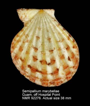 Semipallium marybellae