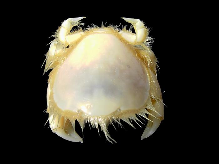 Thia scutellata (Fabricius, 1793)