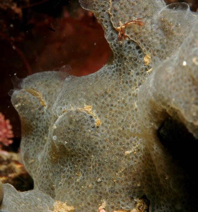 grijze korstzakpijp Diplosoma listerianum