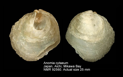 Anomia cytaeum