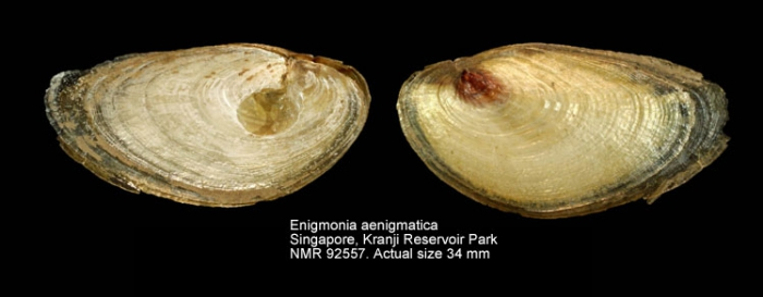 Enigmonia aenigmatica