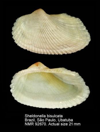 Sheldonella bisulcata