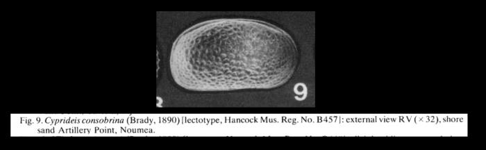 Cyprideis consobrina (Brady,1890) lectotype from McKenzie, 1986