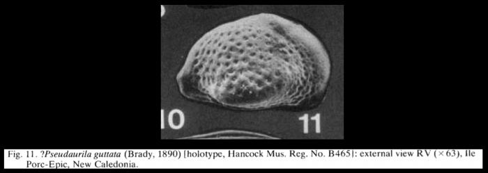 Pseudoaurila guttata (Brady, 1890) LECTOTYPE from McKenzie, 1986
