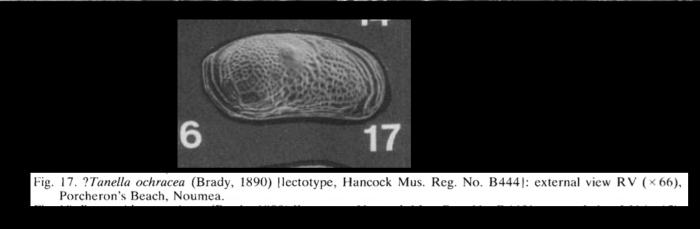 Tanella ochracea (Brady, 1890) LECTOTYPE from McKenzie, 1986