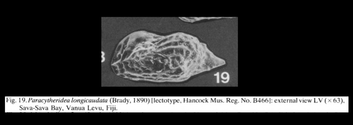 Paracytheridea longicaudata (Brady, 1890) LECTOTYPE from McKenzie, 1986